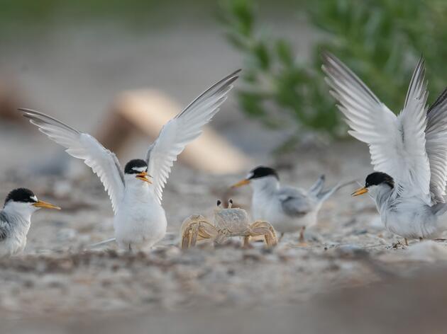 Coastal Nesting Update: Skimmers Return and Terns Face a Unique Predator