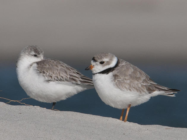 Help Save Endangered Piping Plovers at North Carolina's Rich Inlet