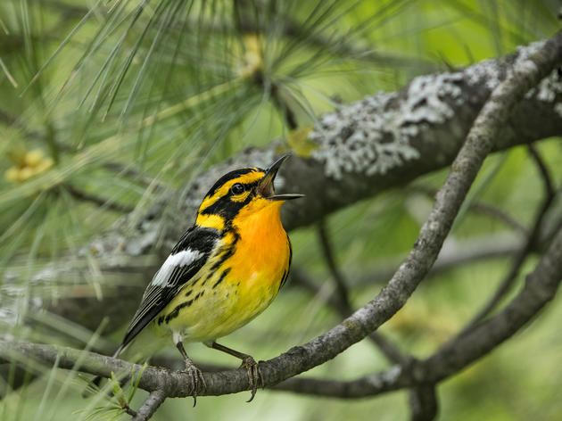 Nantahala-Pisgah Forest Plan: Protecting Land for Birds