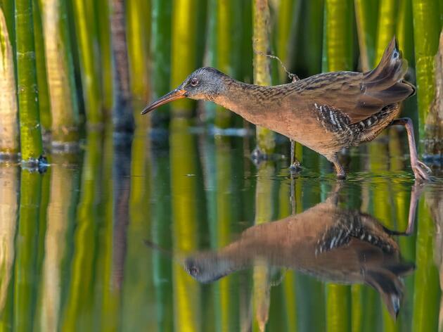 Revealing the Hidden Life of Secretive Marsh Birds