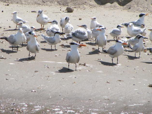 2013 Tern Banding