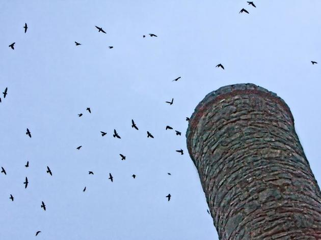 News & Observer: Chimney swifts - Awesome autumn aviators