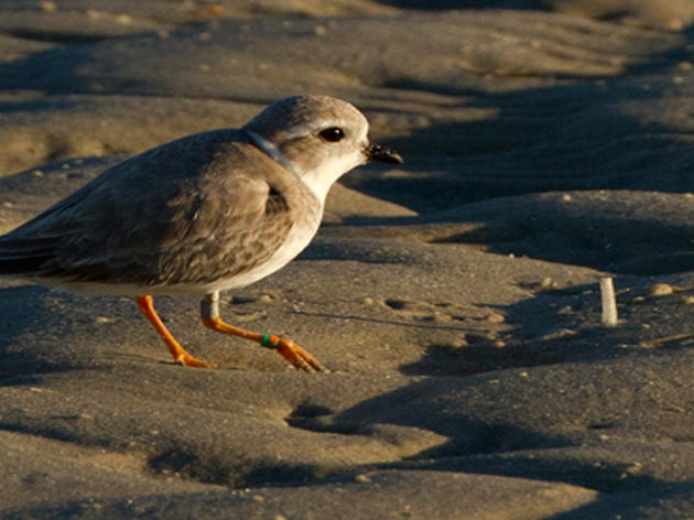 2016 Piping Plovers Year in Review