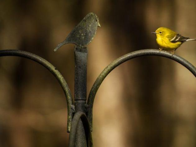 Fayetteville Observer: Great Backyard Bird Count is this weekend, and everyone can help