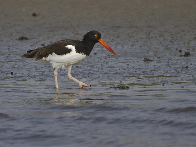 Priority Bird Profile: American Oystercatchers