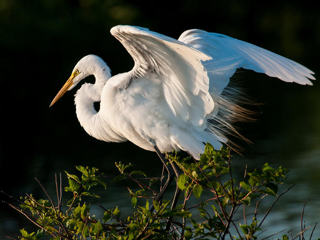 Priority Bird Profile: Great Egret
