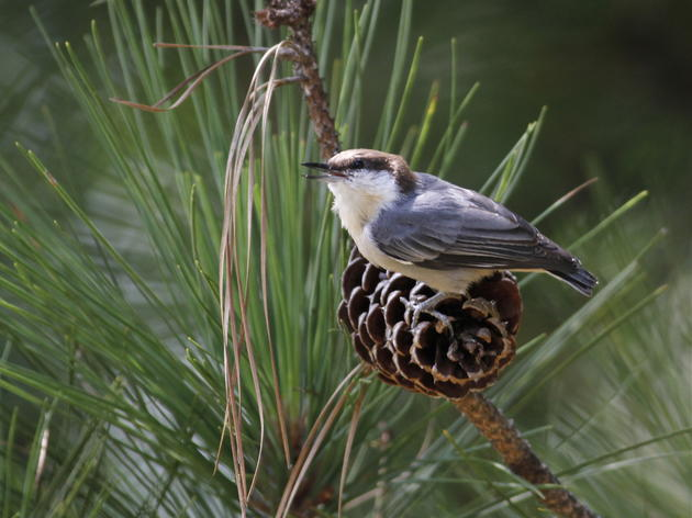 Nuthatches Squeak Out a Win