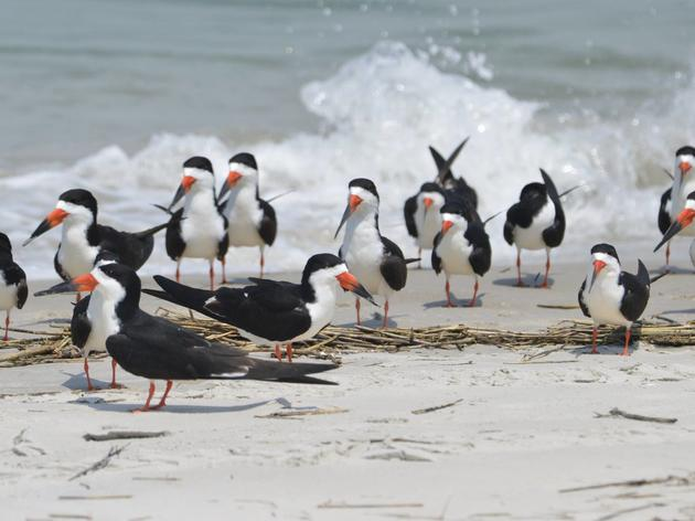 Priority Bird Profile: Black Skimmer