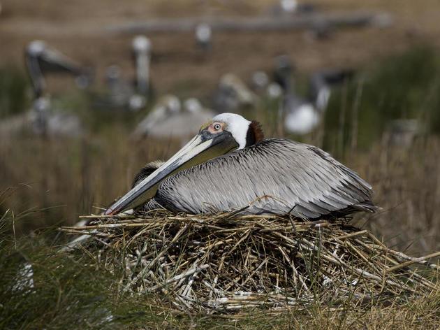 What Happens to Pelicans When It Freezes?