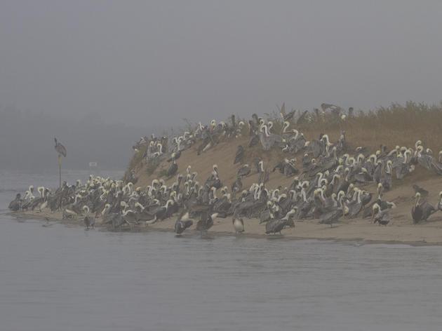 Where Do Pelicans Go in the Winter?
