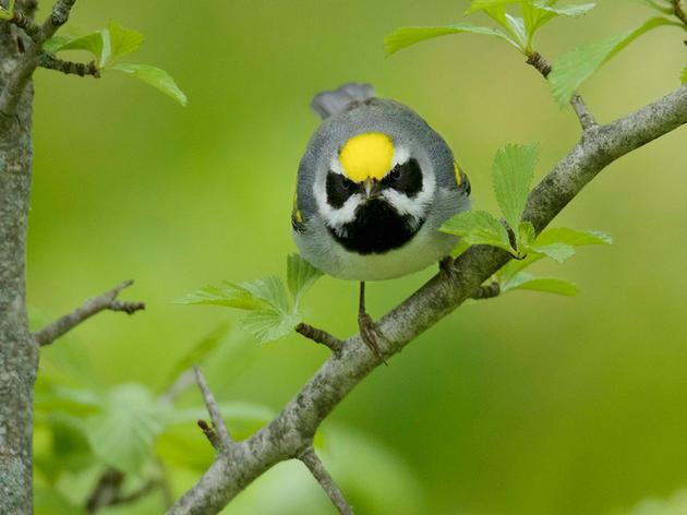 Help Golden-winged Warblers Win Farm Bill Funding