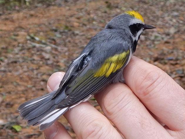 Published Work on Golden-winged Warbler Conservation and Biology