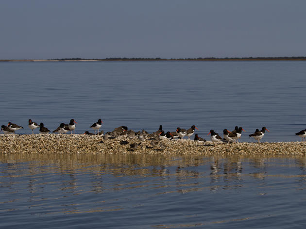 American Oystercatcher Winter Census Flies Over North Carolina