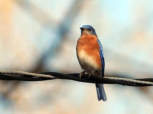 News and Observer: Learn how to attract bluebirds to your garden and more upcoming home and garden events