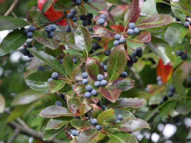 Blackgum Trees for Big Variety