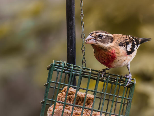 Priority Bird Profile: Rose-breasted Grosbeak