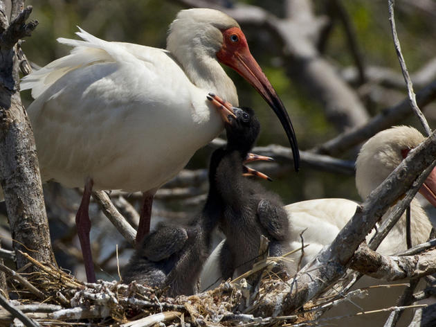 Priority Bird Profile: White Ibis