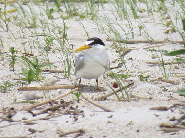 Meet the Least Tern!