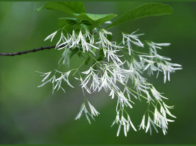 Plant Fringe Tree for Three-Season Appeal