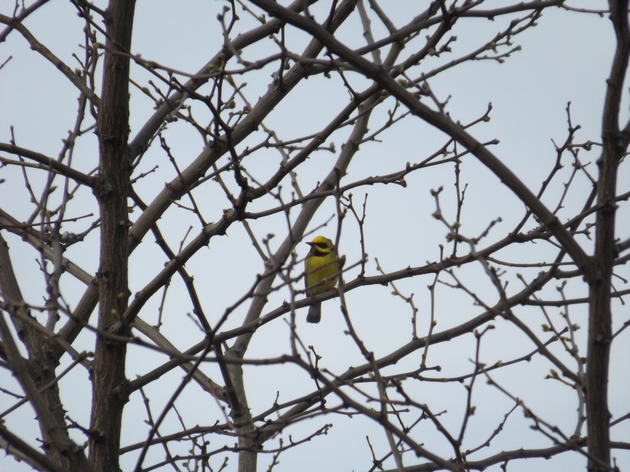 Collaborating for Protection of the Golden-winged Warbler: What we've learned
