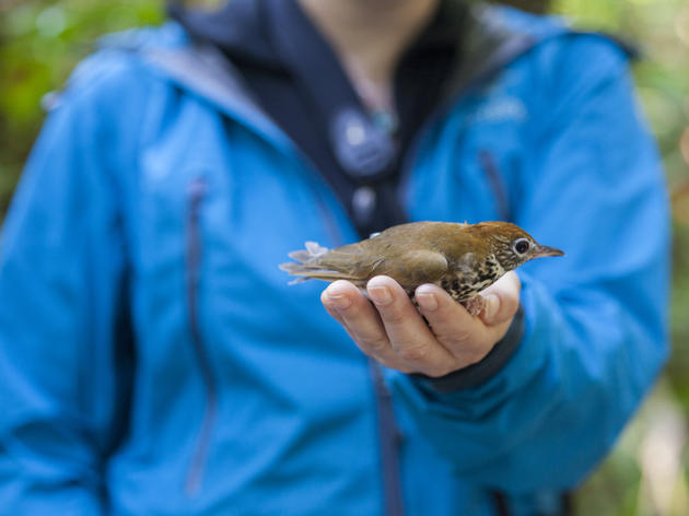 The Wood Thrush Connection