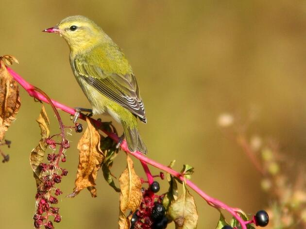 Healthy Forests Mean Healthy Diets for Hungry Songbirds on the Move