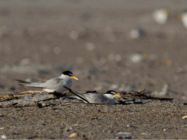 Nesting Update: Lea- Hutaff Island