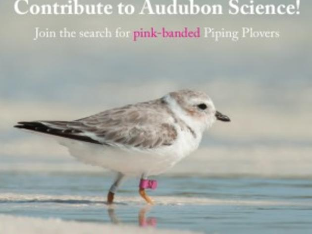 Help Audubon Track Pink Banded Piping Plovers
