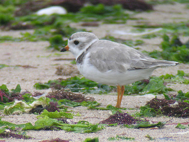 Audubon Magazine: Piping Plovers Get a Protected Park in the Bahamas