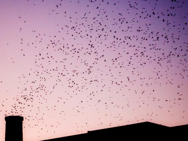 Witness the Magic of Fall Migration at a Swift Night Out Near You