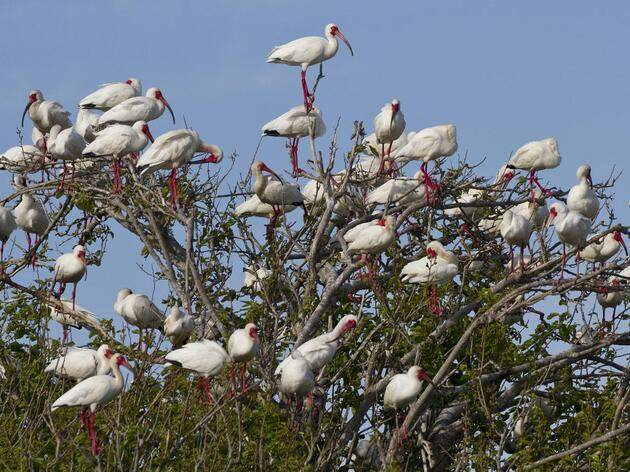 Battery Island: A Nesting Oasis for Wading Birds