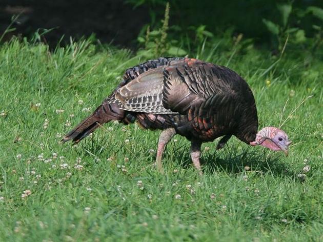 Turkeys Thrive in North Carolina Thanks to Conservation Efforts