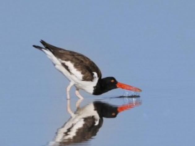 Lumina News: Shorebird numbers back up after good season