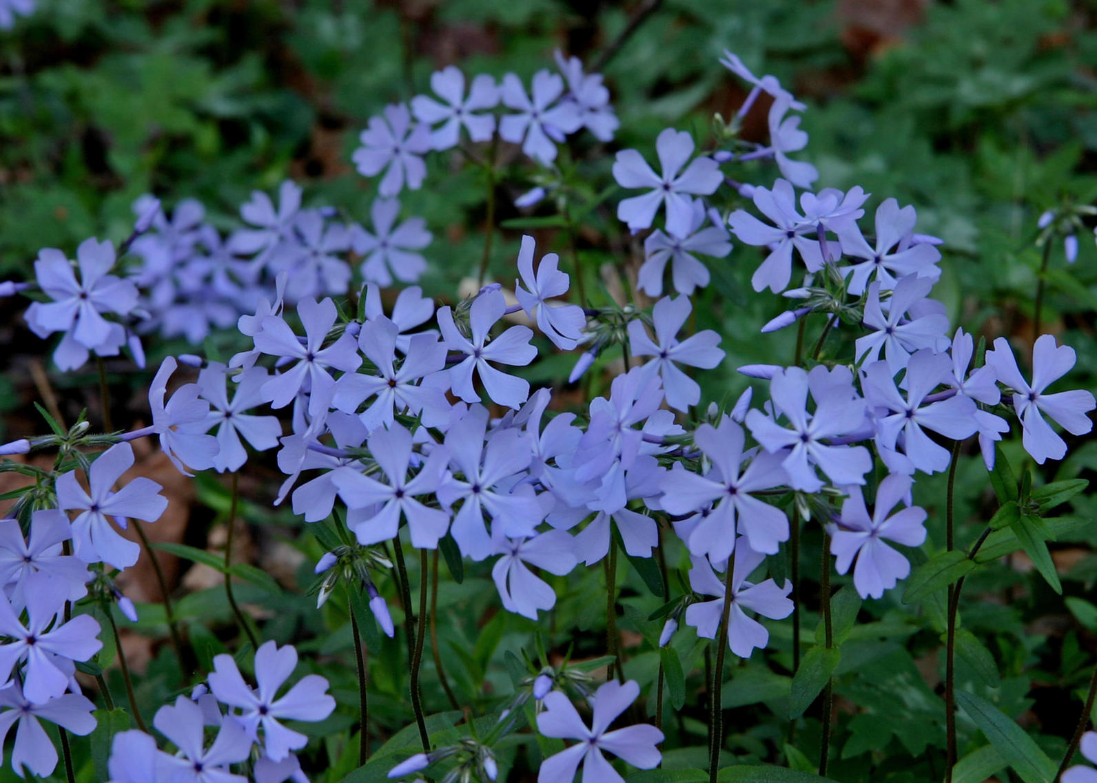 phlox a sweet addition to any woodland garden audubon north carolina. Black Bedroom Furniture Sets. Home Design Ideas