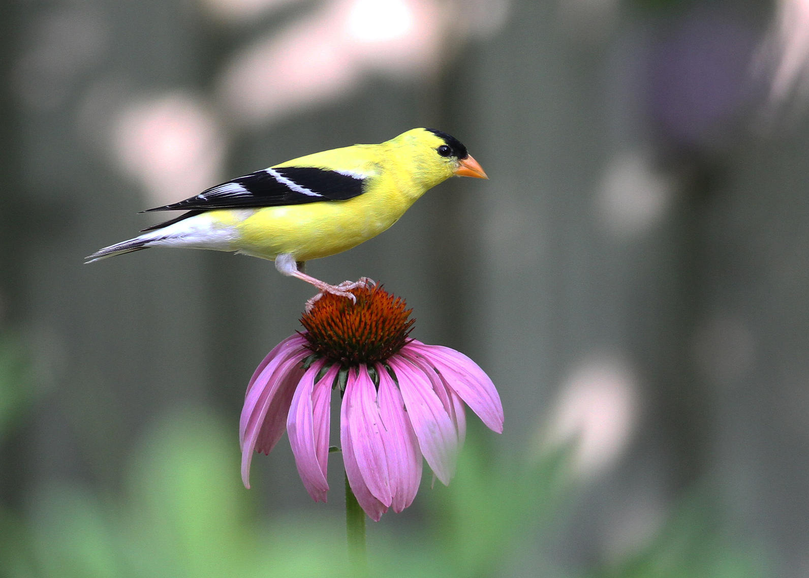 echinacea purpurea and american goldfinch by will stuart