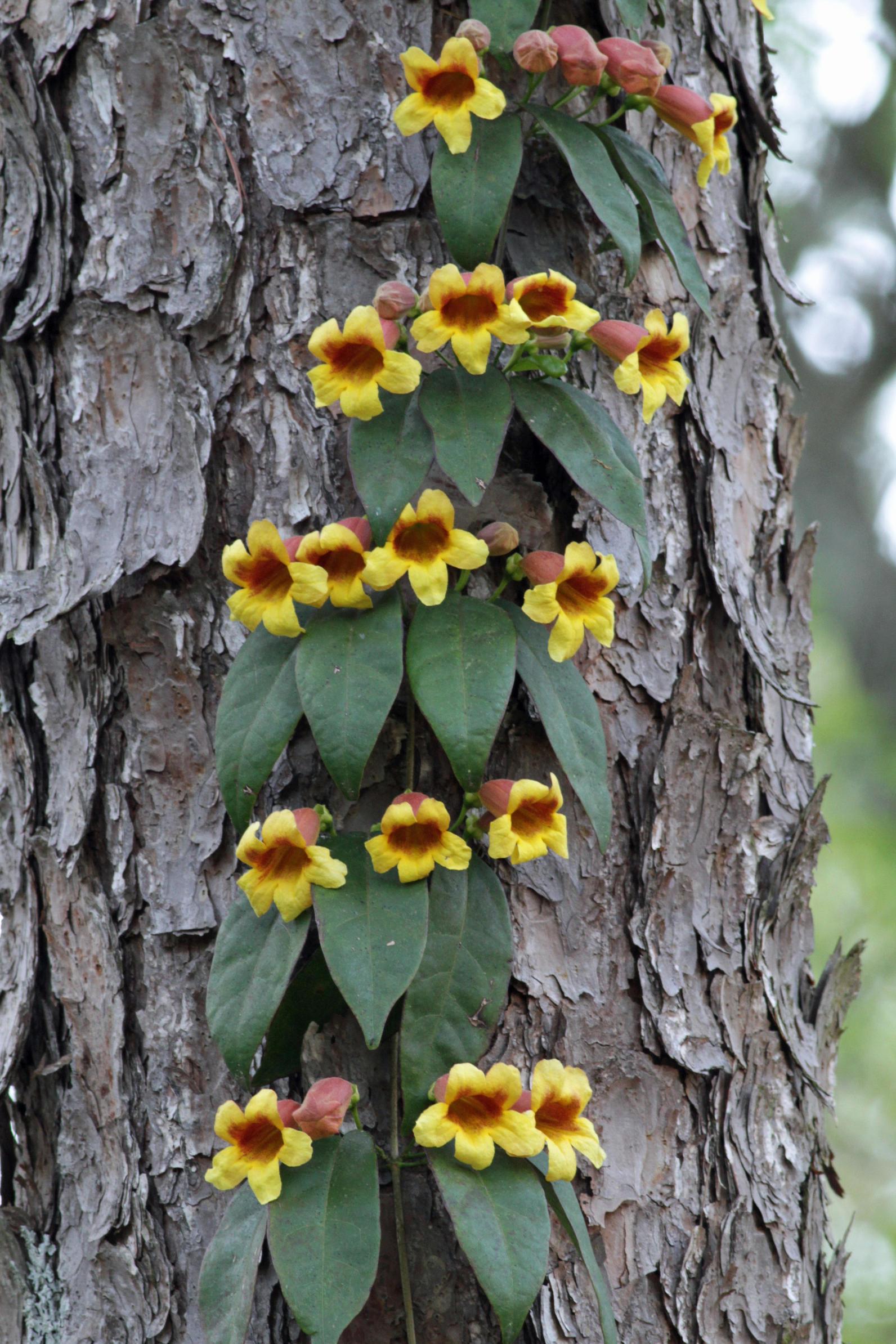 Bignonia Capreolata by Will Stuart