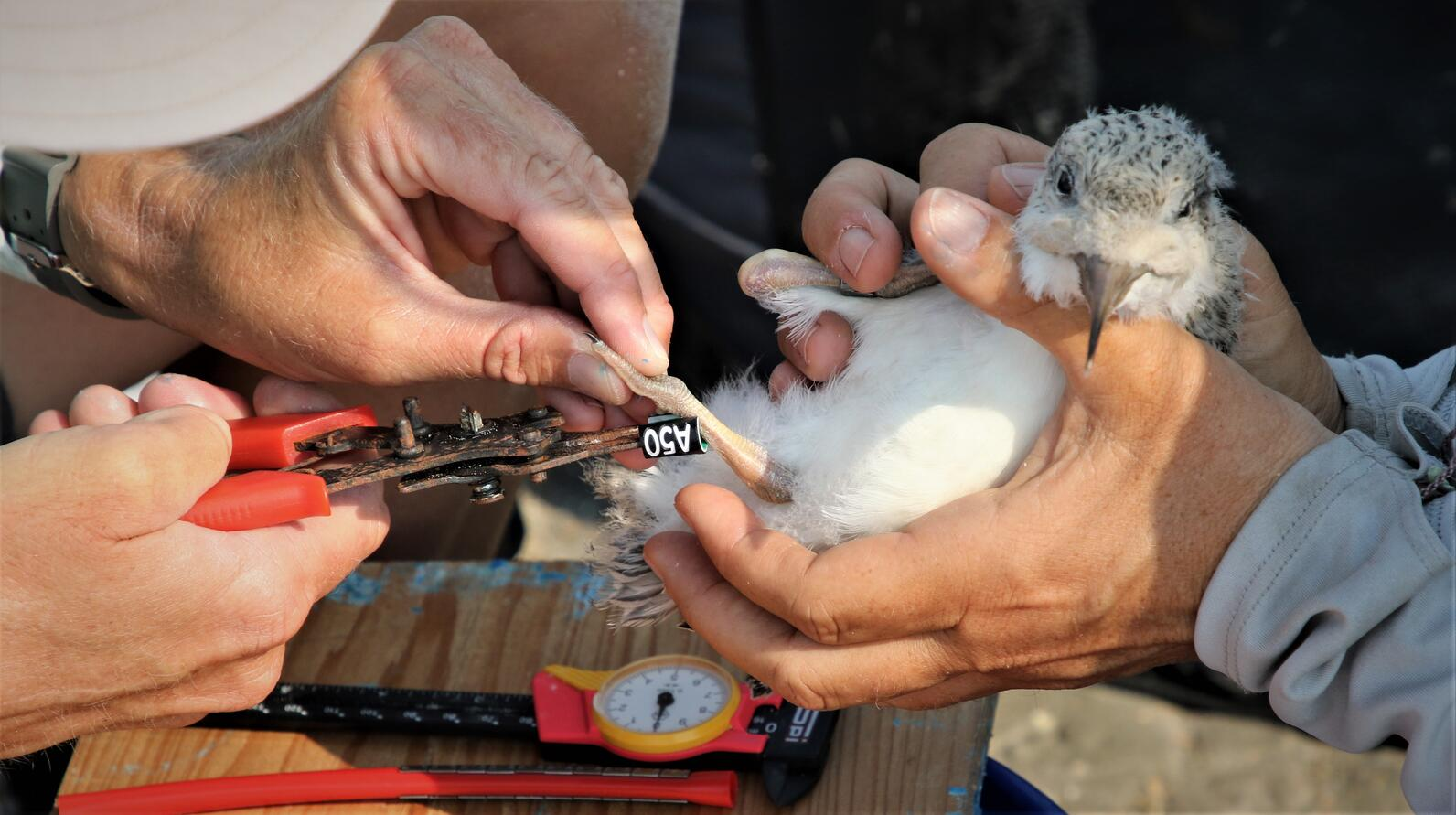 Black Skimmers are banded when they are young, before they can fly.