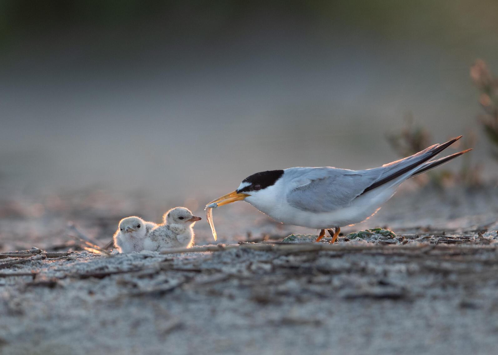 Least Terns.