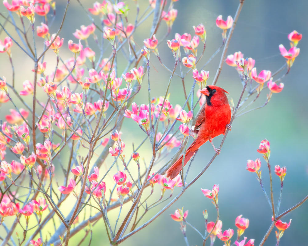 Photo of a bright-red bird sitting amidst pink dogwood flowers in early springtime.
