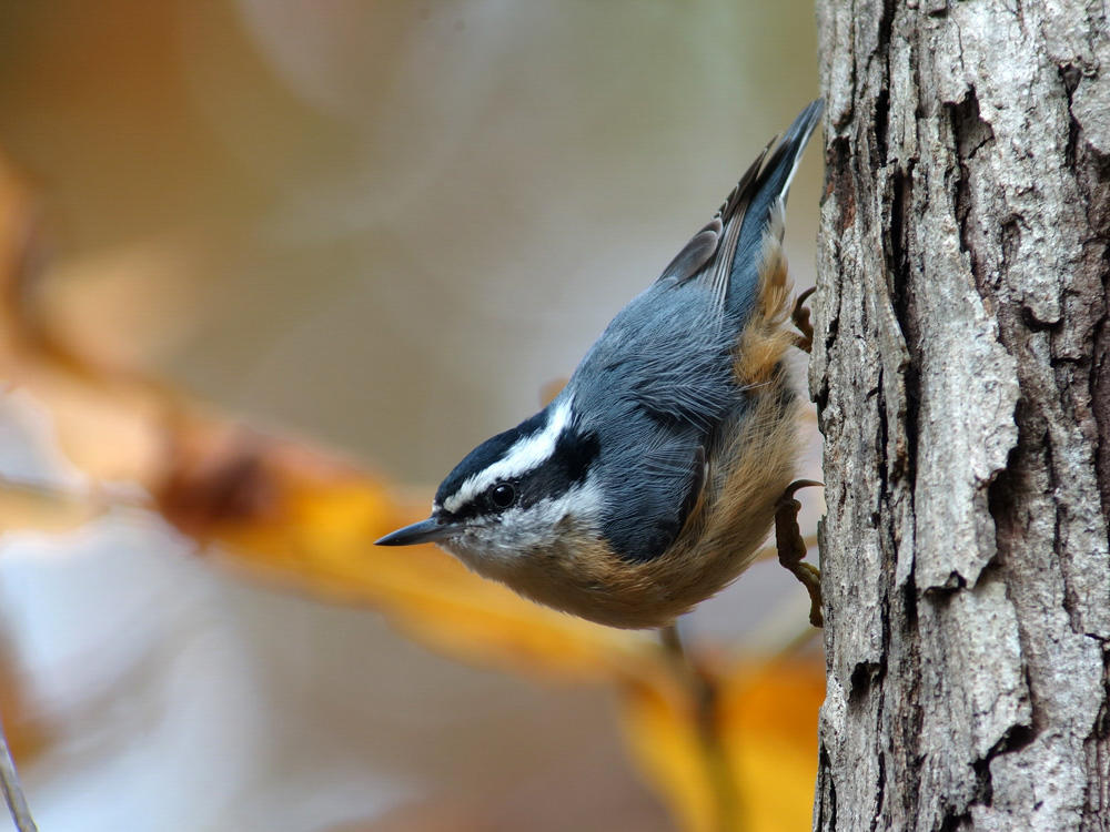 Red-breasted Nuthatch - Megumi Aita/Audubon Photography Awards