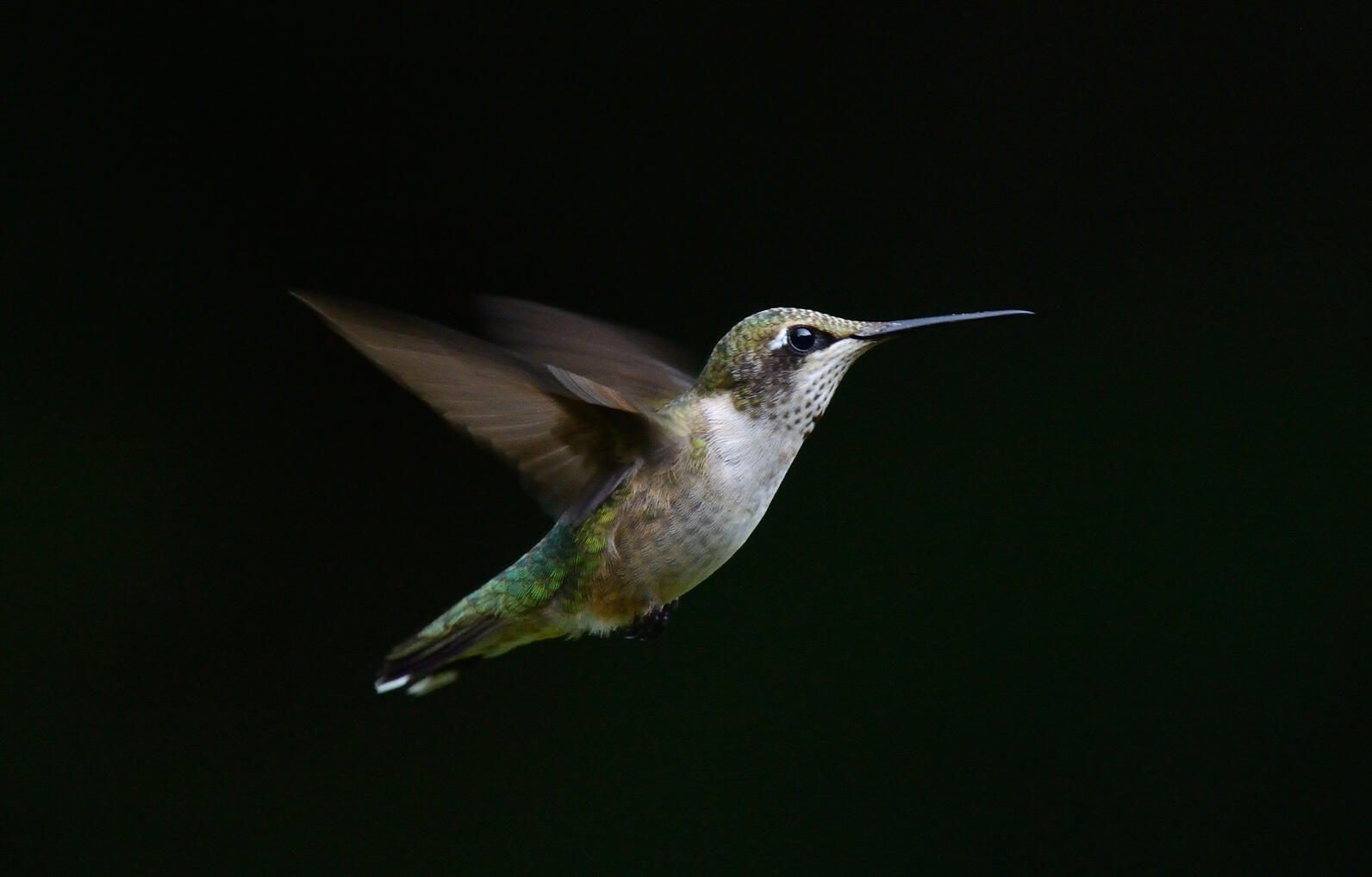 Ruby-throated Hummingbirds and scores of songbird species migrate at night.