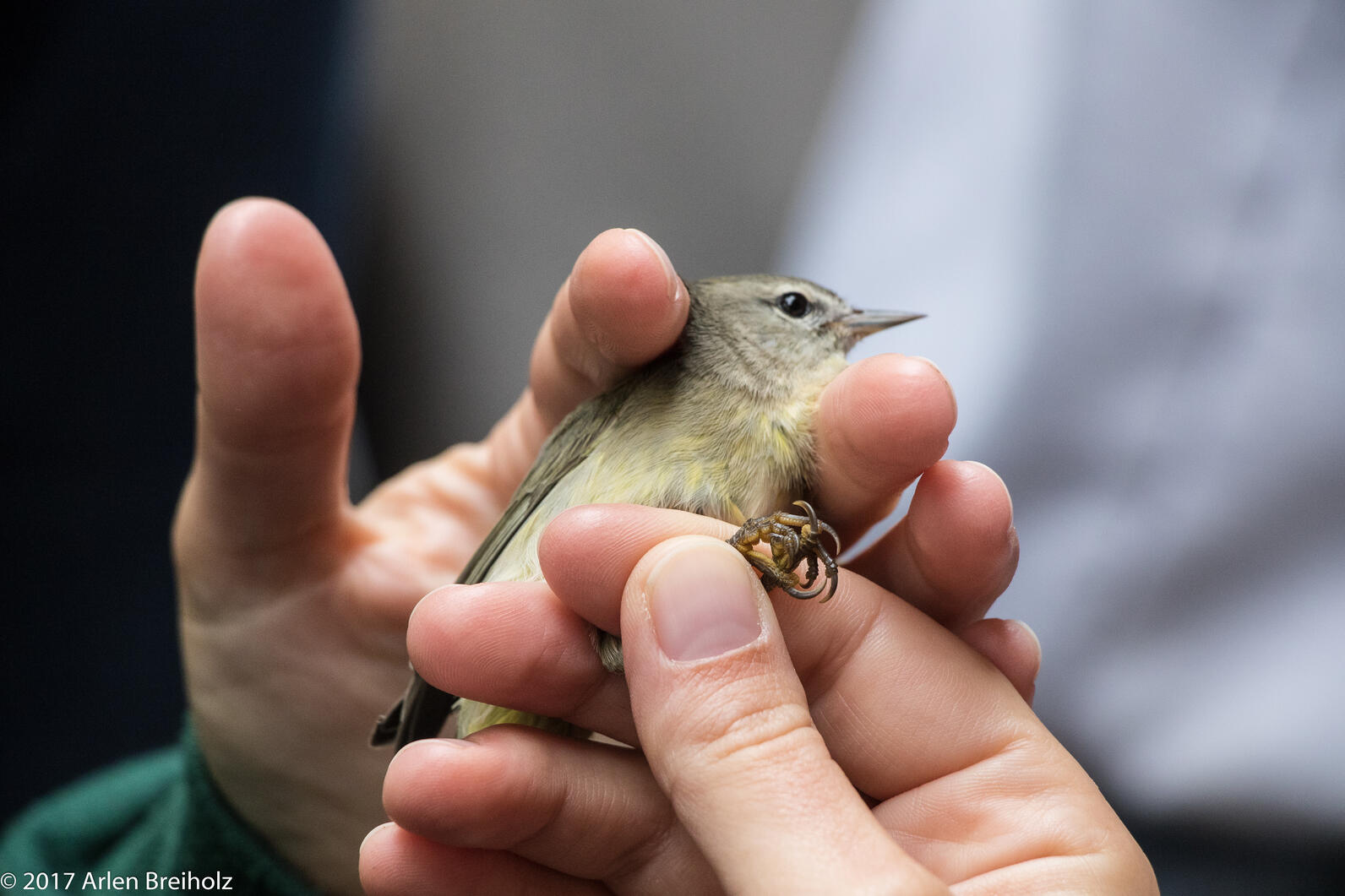A Tennessee Warbler prepares to be banded.