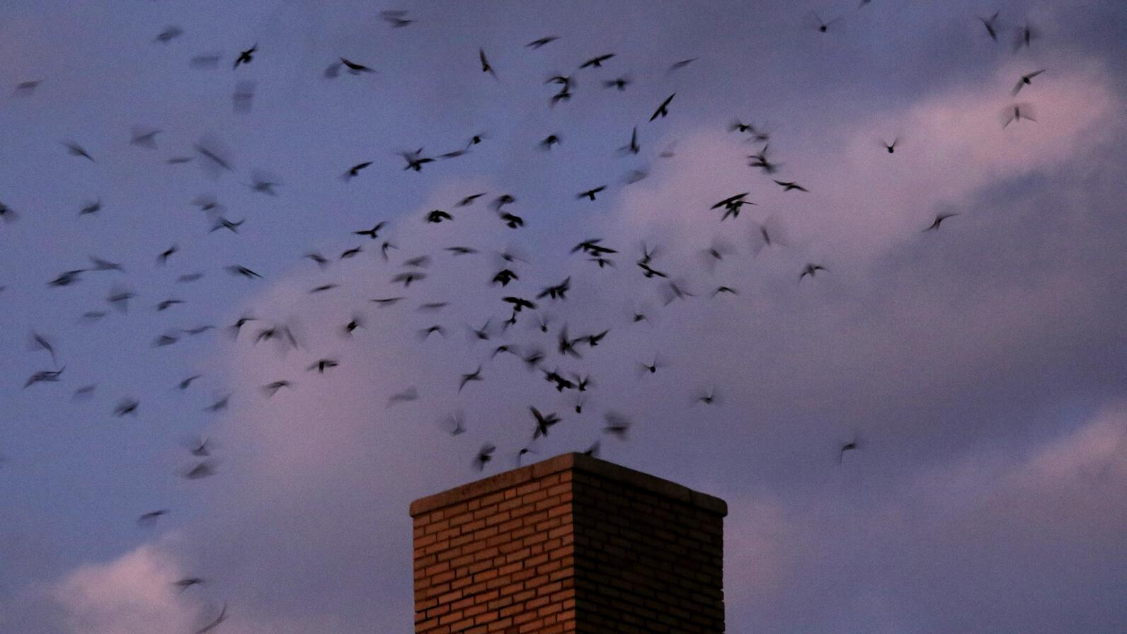 Chimney Swifts flock at a roost at dusk.