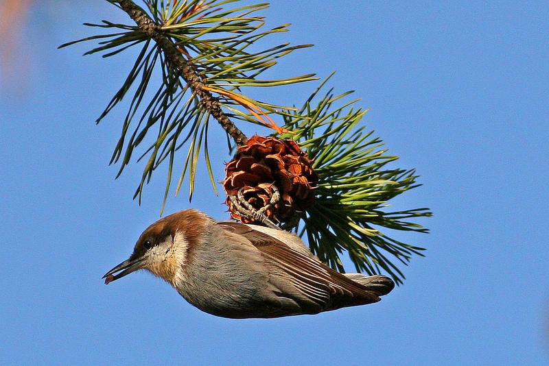 Nuthatches - Wild Birds Unlimited | Wild Birds Unlimited