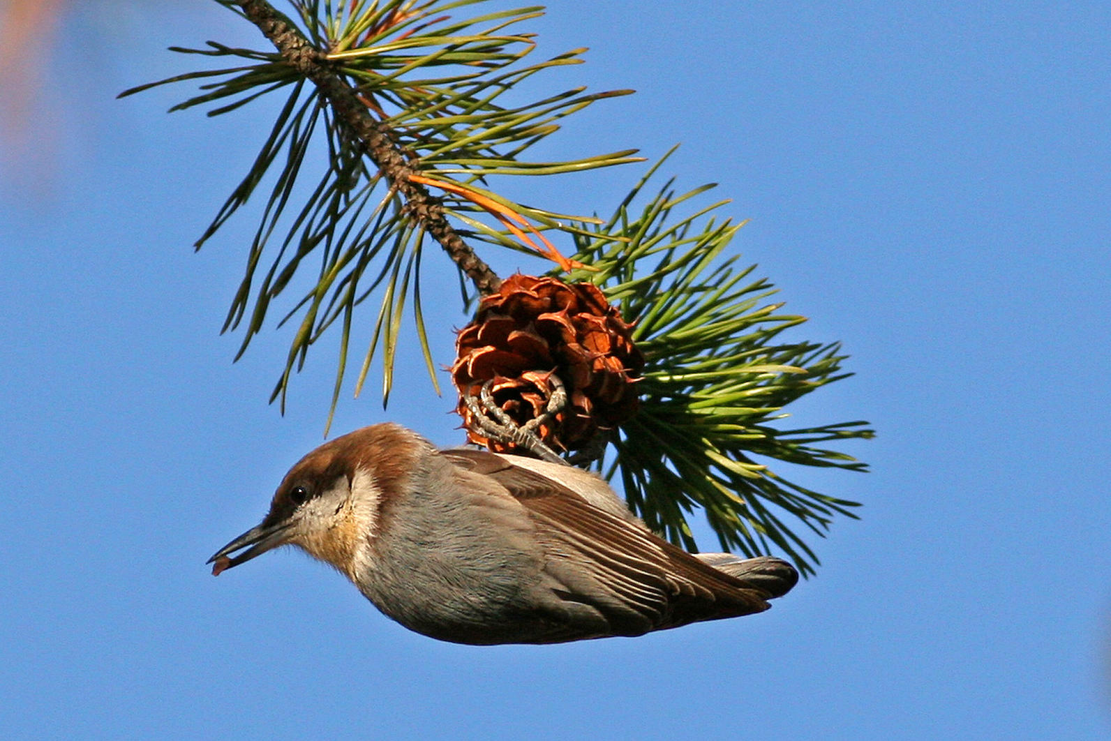 Brown-headed Nuthatch BHNU Will Stuart