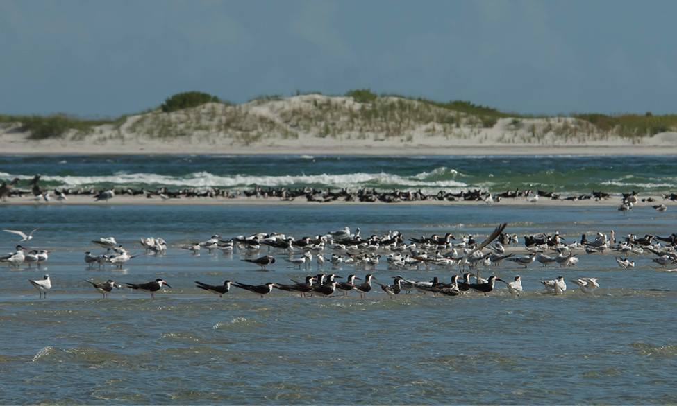 Terns and skimmer staging at Rich Inlet.
