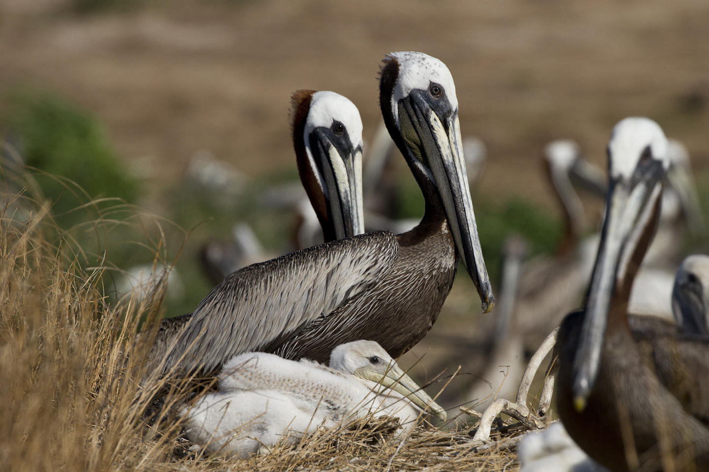 Brown Pelicans and chick.