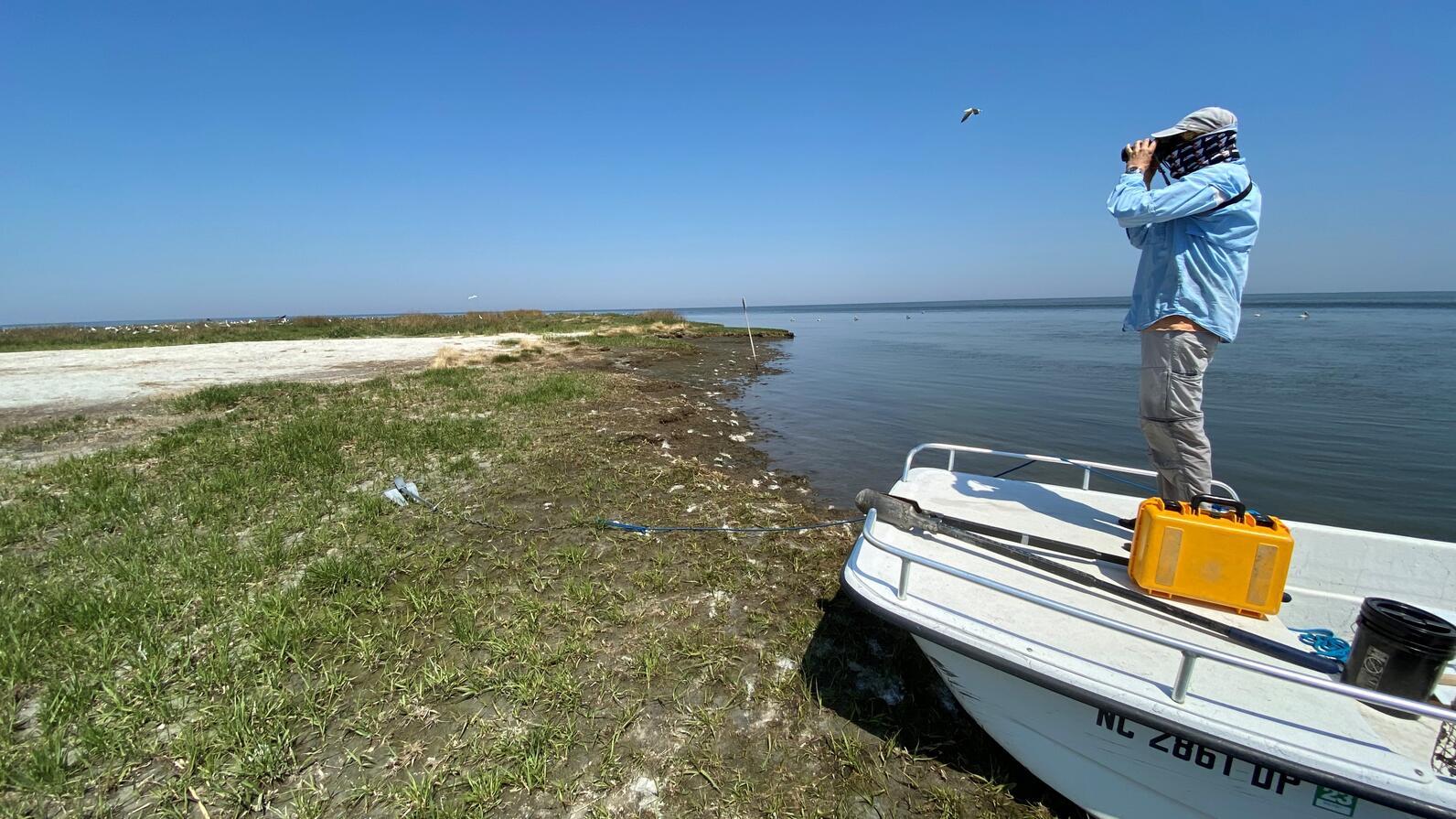 Brown Pelicans of Beacon Island.