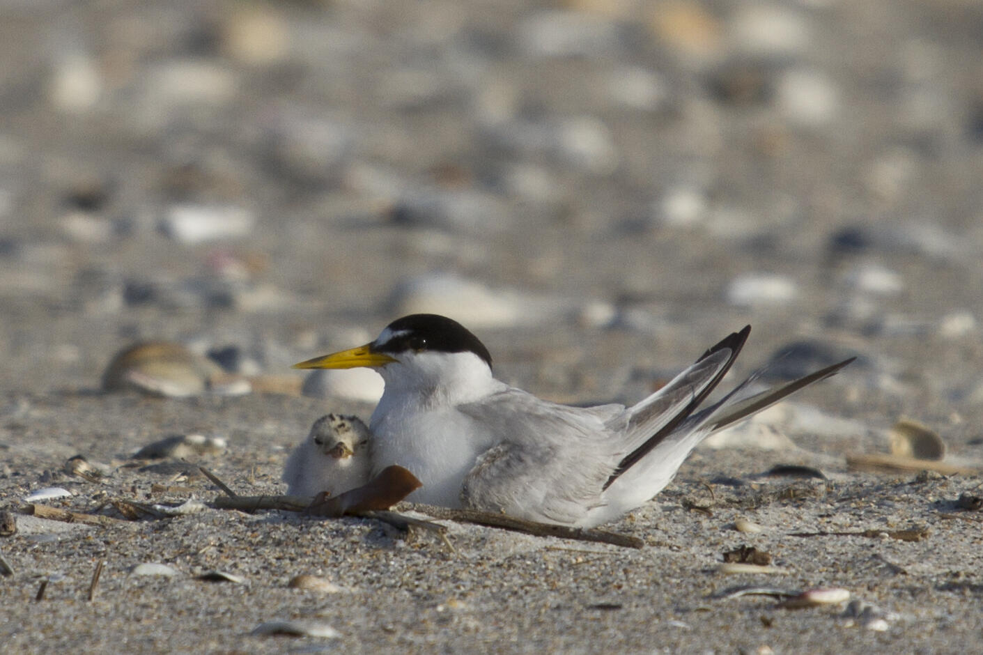 Least Tern and chick.