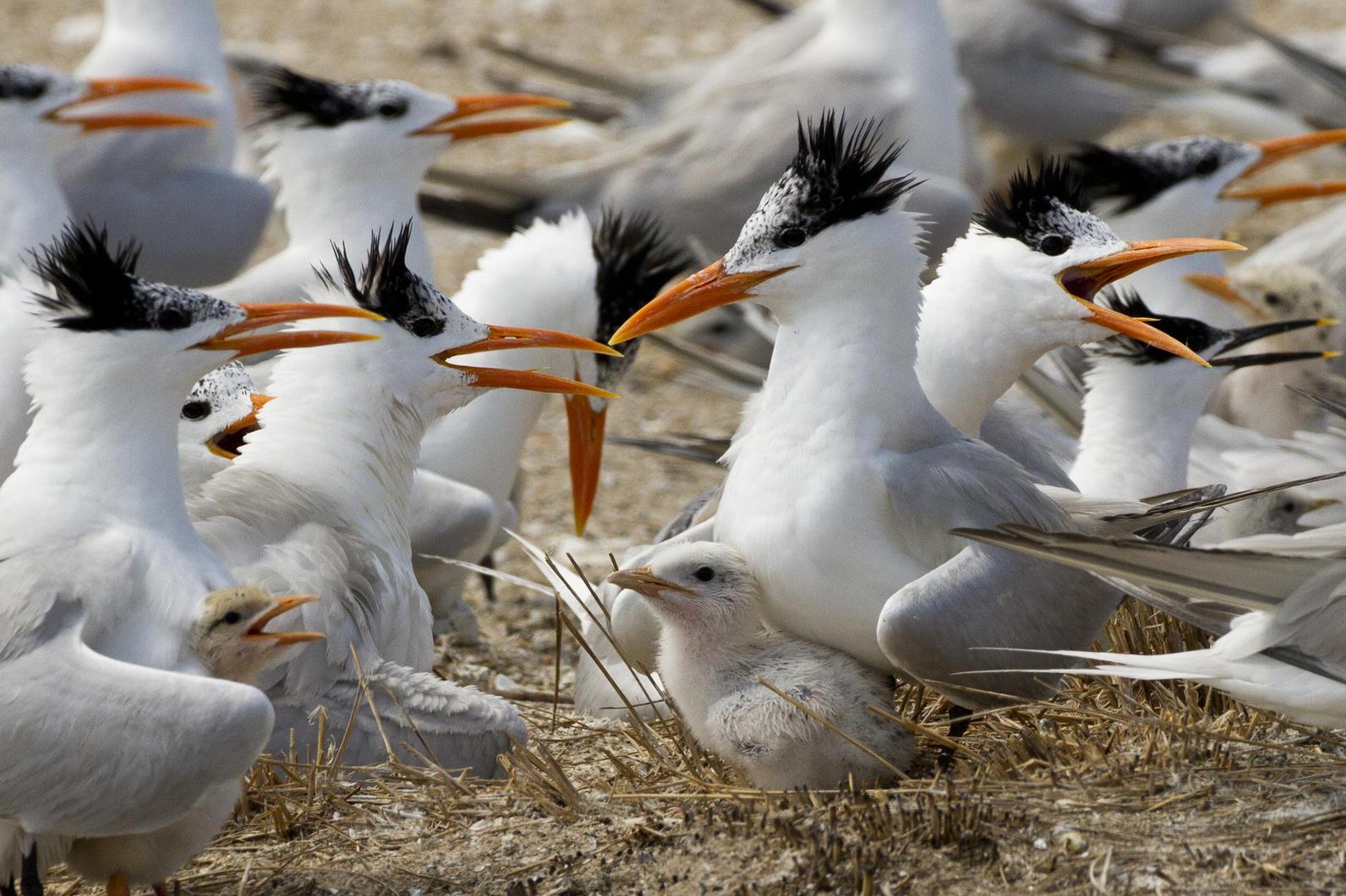 Royal Terns.